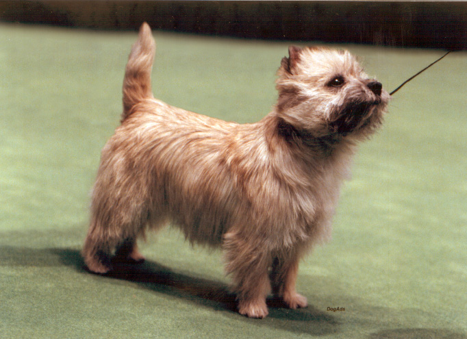 Welcome to meet Ashwood cairn Terriers!